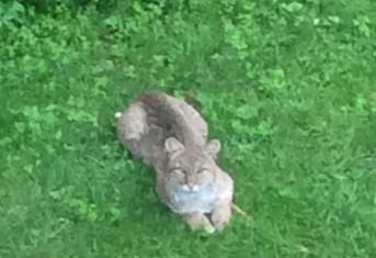 Deer Escorted Our Resident Bobcat Away!